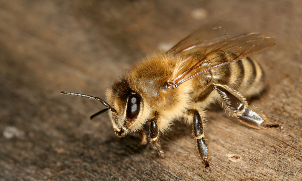 Apis_mellifera_carnica_worker_hive_entrance_3