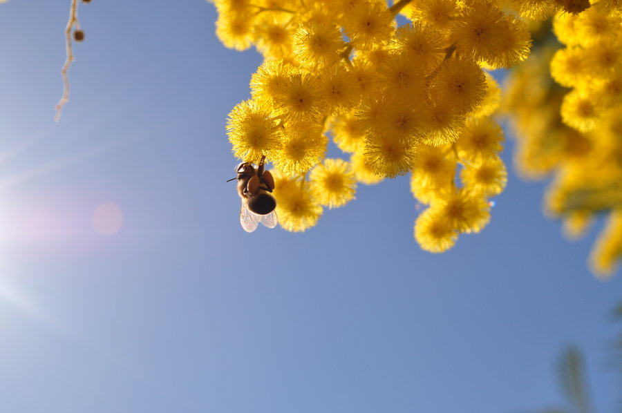 bee___sun___mimosa_flower_by_theri611