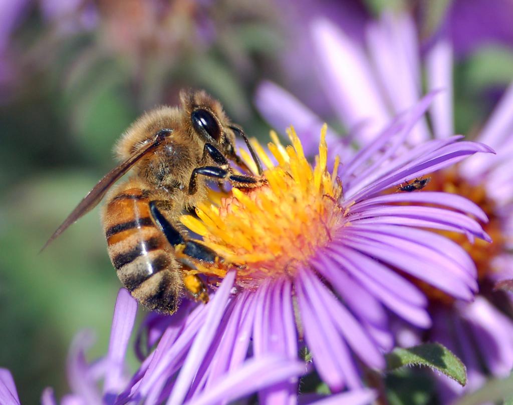 honey_bee_extracts_nectar