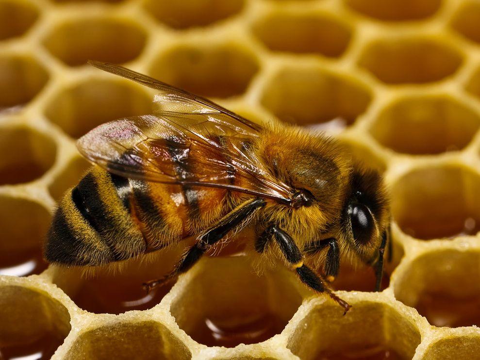 honeybee-honeycomb-macro_26201_990x742